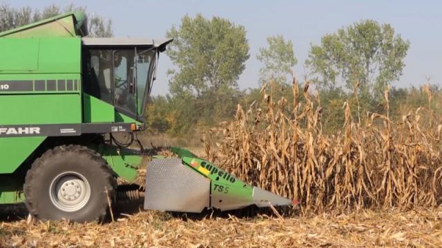 Obran kukuruz u Srednjem Banatu