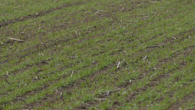 Usevi pšenice  u različitim feno - fazama razvoja