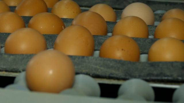 Jaja najmlađih nosilja najbolja po pitanju boje žumanceta
