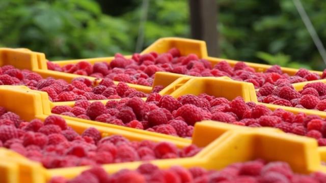 Iskoristiti šanse za povećanje zarade od uzgoja maline