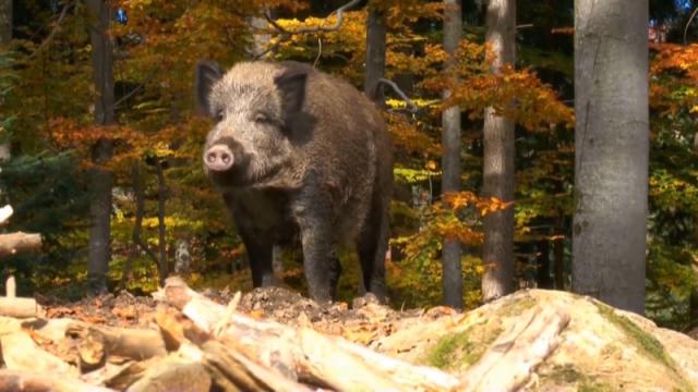 Mogućnost izvoza svinjetine iz Srbije u zemlje zapadne Evrope