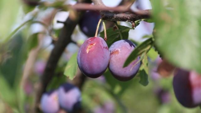 Treba obezbediti plasman veće količine plodova, ujednačenog kvaliteta