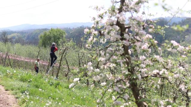Proređivanjem plodova jabuke do kvalitetnog roda
