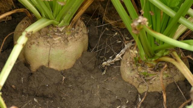 Proizvođači se lagano vraćaju proizvodnji šećerne repe