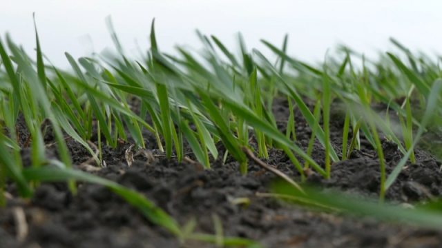Na severu Bačke najviše kukuruza, pšenice i suncokreta