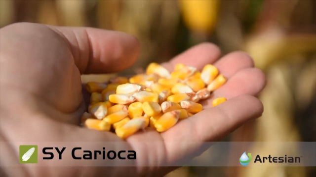 Hibridi kukuruza Carioca, Andromeda, Bilbao