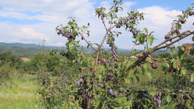 Neiskorišćeni potencijali za uzgoj šljive