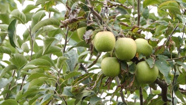 Voćari smatraju da postoji prezasićenost u uzgoju jabuke