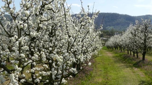 Prolećni mrazevi mogli bi da nanesu veliku štetu voću