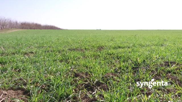 AmistarExtra i Cherokee za zaštitu pšenice