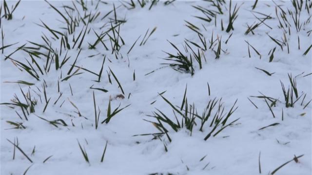 Sneg neće naneti veće štete usevima