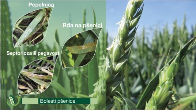 Syngenta program - za sigurnu, efikasnu i dugotrajnu zaštitu pšenice