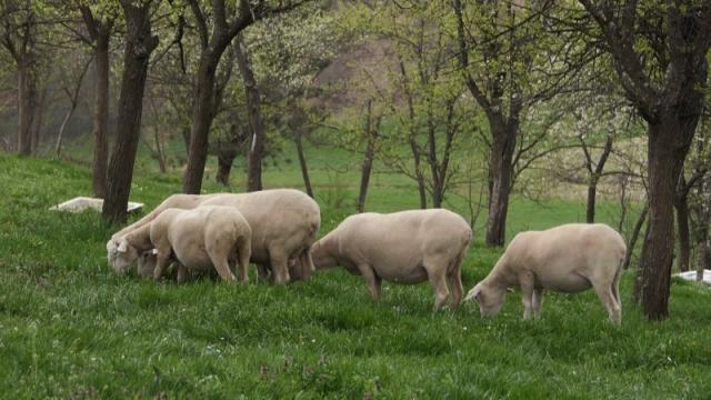 Problema može biti u proizvodnji jagnjećeg mesa