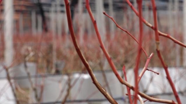 Najsavremenija uputstva za gajenje visokožbunaste borovnice