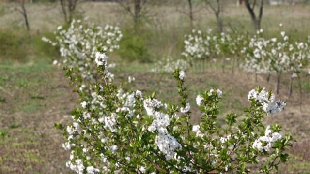 Voćari zabrinuti da mrazevi ne smanje kvalitet ploda