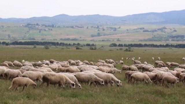 Sjeničke ovce donose im najveću dobit