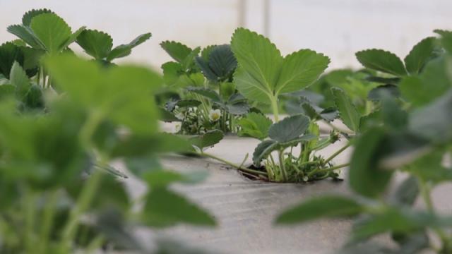 Proizvođači jagoda zabrinuti pred berbu