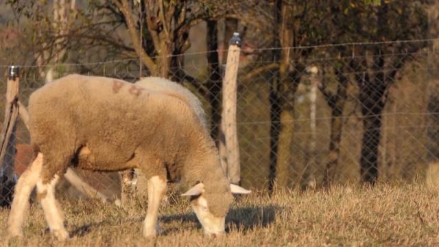 Za jagnjad se nudi svega 200 dinara za kilogram