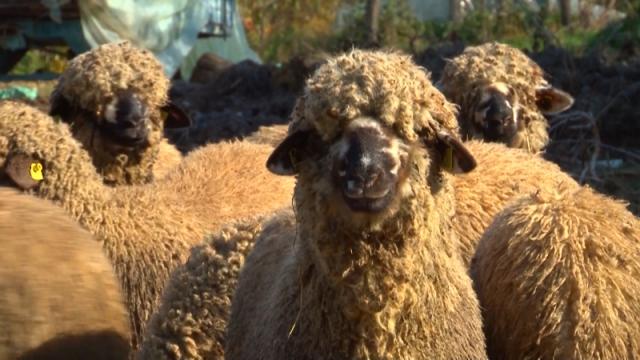 Sigurna prodaja za svrljišku jagnjad