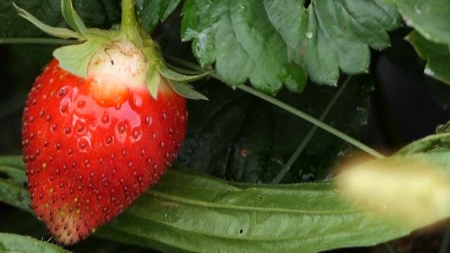 Otežana berba i distribucija zrele jagode