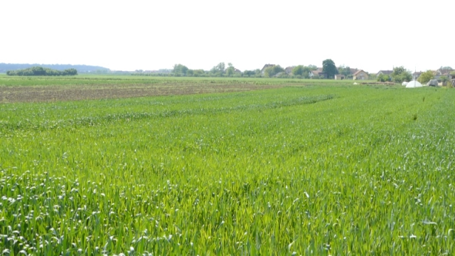 Kiša koja je pala ovih dana, samo prva pomoć za pšenicu