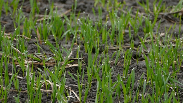 Najava slabijeg roda pšenice