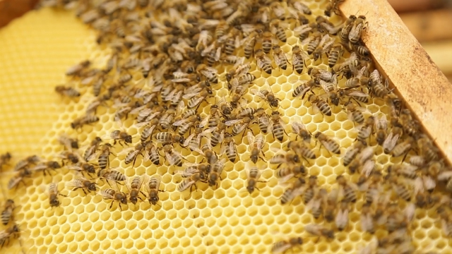 Kraj pčelinjaka seje i faceliju