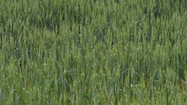 Manje pšenice nego prošle godine