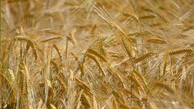 """""""Ogledna"""" pšenica dobro rodila u Vranju"""