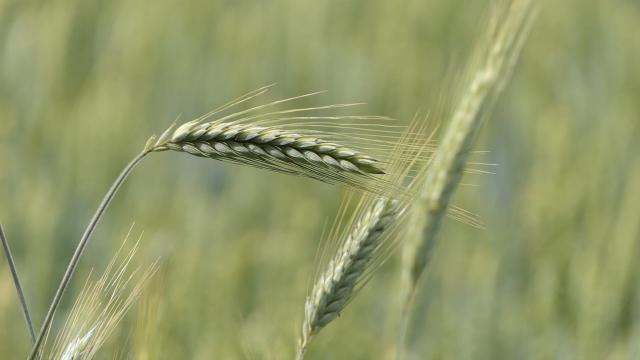 Banatski paori traže 22 dinara za pšenicu