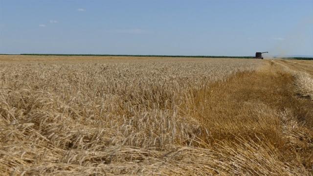 Prošlogodišnja pšenica 18 dinara