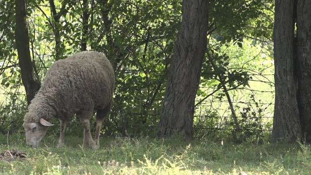 Ovčarstvo - šansa za mlade poljoprivrednike