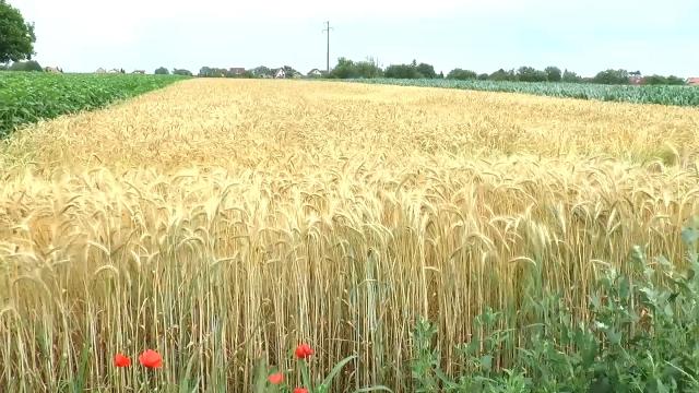 Ne očekuje se da padavine štete žitu