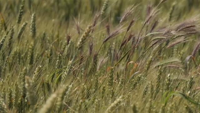 Rodila pšenica u Rusiji