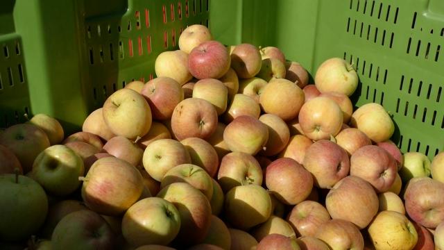 Istorijski maksimum za izvoz jabuka
