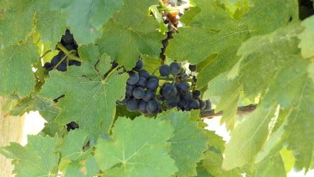 I glava i vinograd duže traju u organskoj proizvodnji