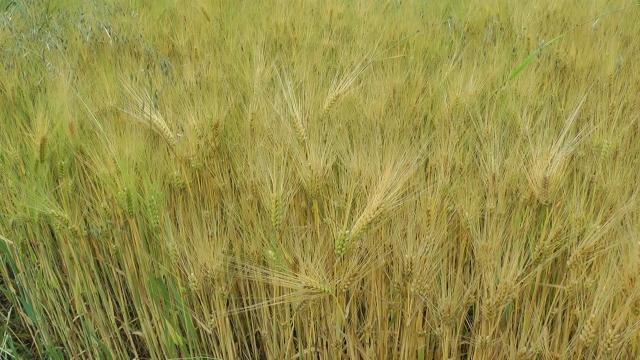 Očekuje se žetva ječma i u Nišavkom okrugu