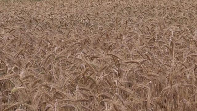 Jećam gotov, pšenica se žanje