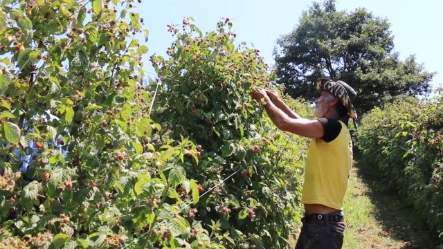 Izuzetno teška godina za malinare u zapadnoj Srbiji