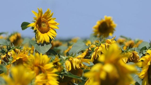 Suncokret i kukuruz dobro napreduju