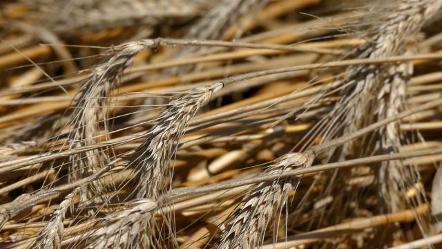 Očekuje se rast cene pšenice