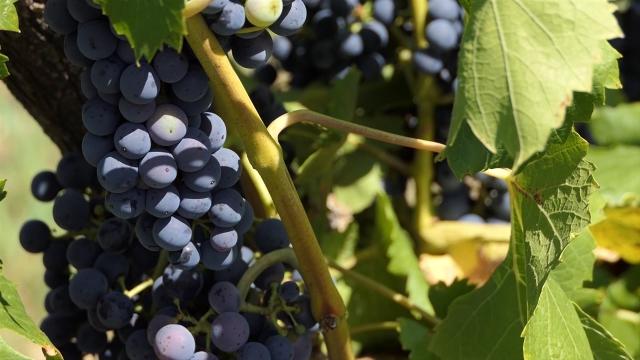 Zbog specifične mikroklime voće iz Grocke najkrupnije i najslađe