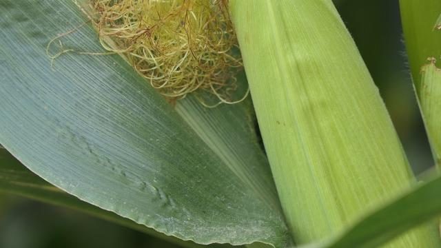 Mnogo pažnje posvećuje uzgoju kukuruza