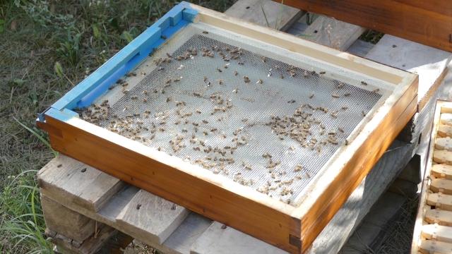 Stradale pčele izletnice u okolini Kikinde