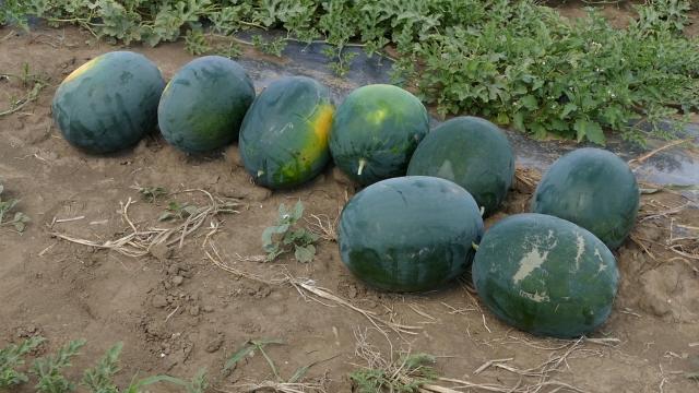 Izuzetan kvalitet lubenica i dinja sa sremskim polja