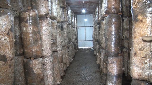 Proizvodnja bukovače, u suštini, organska proizvodanja