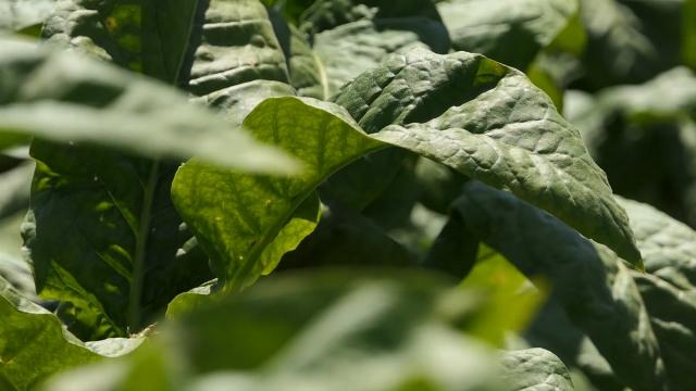 Najisplativija semenska proizvodnja tikvica za izvoz