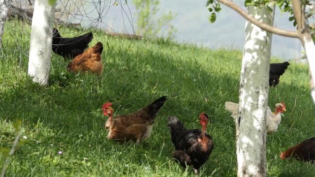 Svaki proizvođač dobio po 50 kokošaka