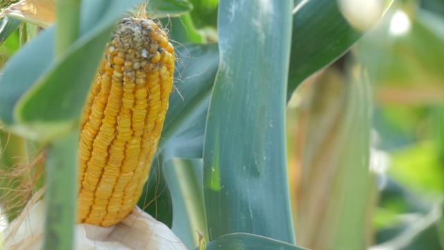 Dobra godina za kukuruz u svetu