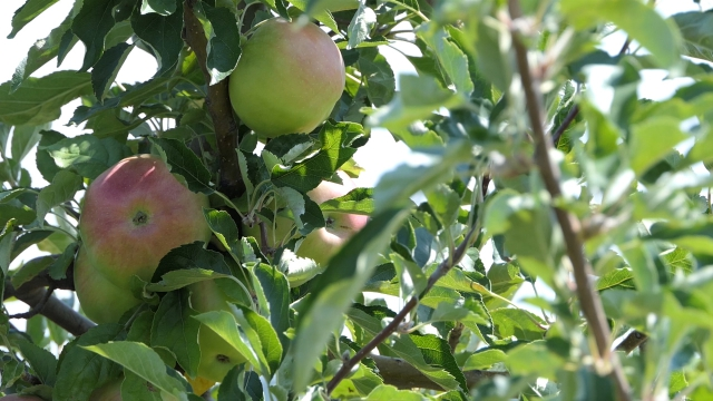 Pored ranog izlaska na tržište, ključan kvalitet voća